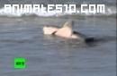 Orca se enfrenta con un tiburon