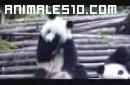 Oso panda con un ataque de estornudos