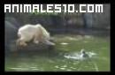 Osos polares atacan a una mujer
