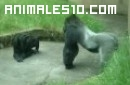 Pelea de gorilas en el zoo
