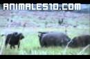 Rinoceronte ataca a un bufalo