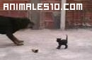 Enorme Rotweiller y gatito