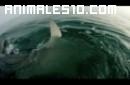 Alimentando a un tiburon blanco